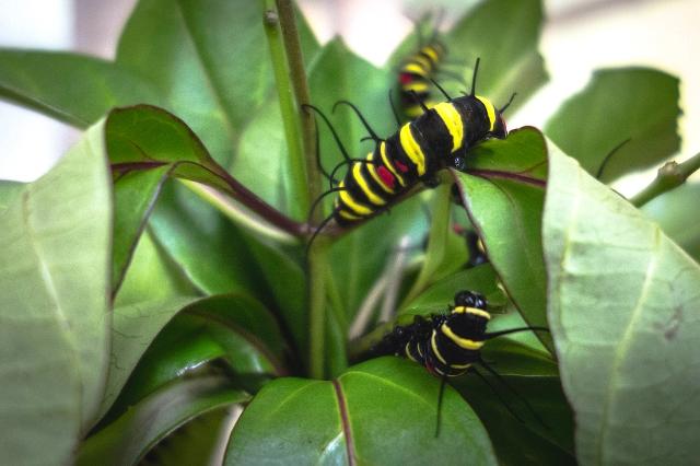 Caterpillar-00378